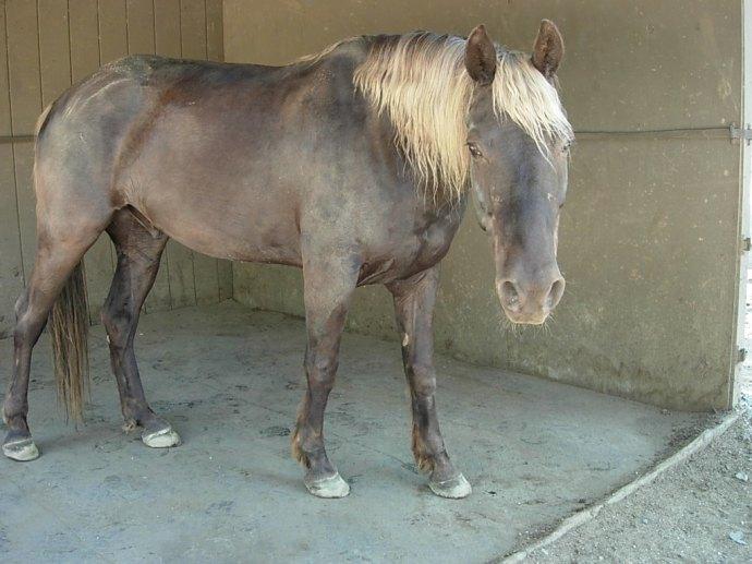 Parker, chocolate palomino Rocky Mountain Horse
