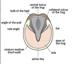 hoof diagram